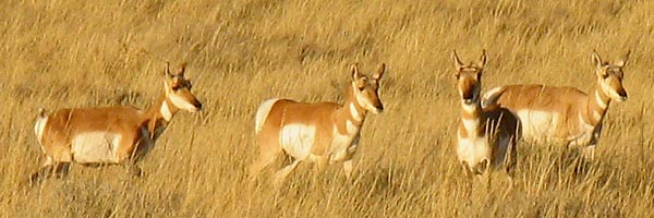 Herd of Wyoming pronghorn antelope does