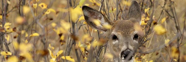 Mule deer doe, © Rinusbaak, Dreamstime.com